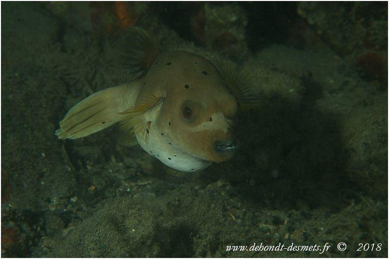 Tétrodon jaune ou poisson-ballon à taches noires (Arothron nigropunctatus)