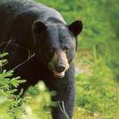 L'OURS NOUIR ou BARIBAL (Ursus americanus) - Le blog de Alex.bowhunter