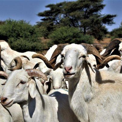 La loi du troupeau