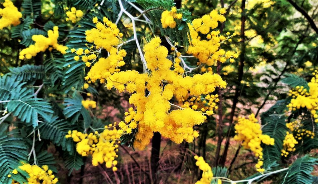 Mimosas Mandelieu