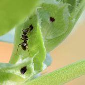Que font ces fourmis sur mes fèves ? - Au jardin des Quatre Moineaux