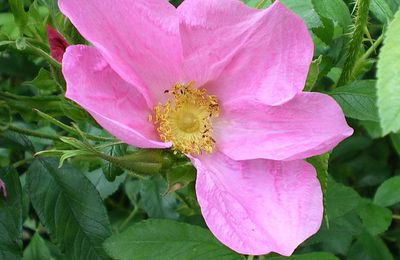 Rosa Rugosa Germanica