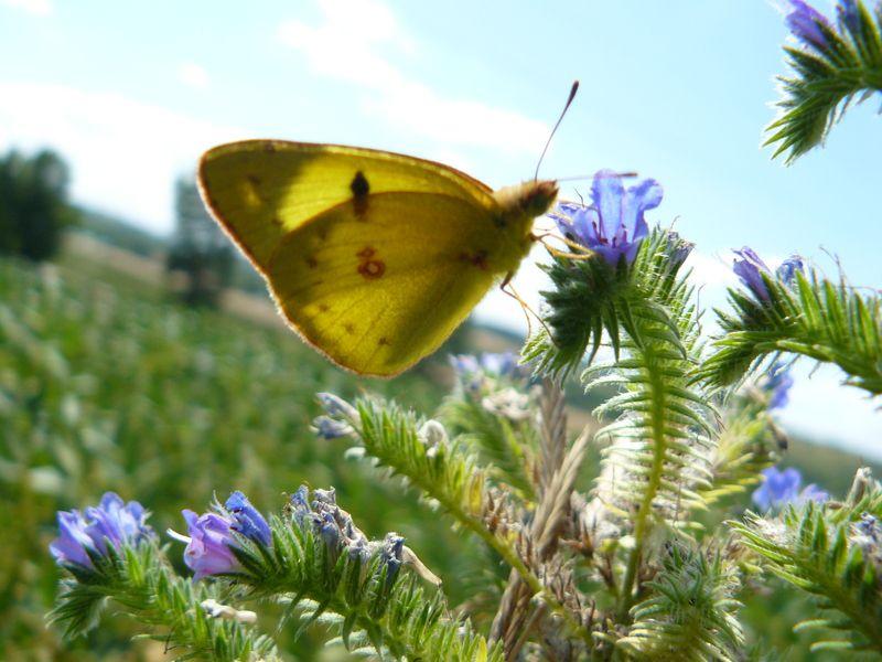 Papillons du Lauragais (2) : le Souci