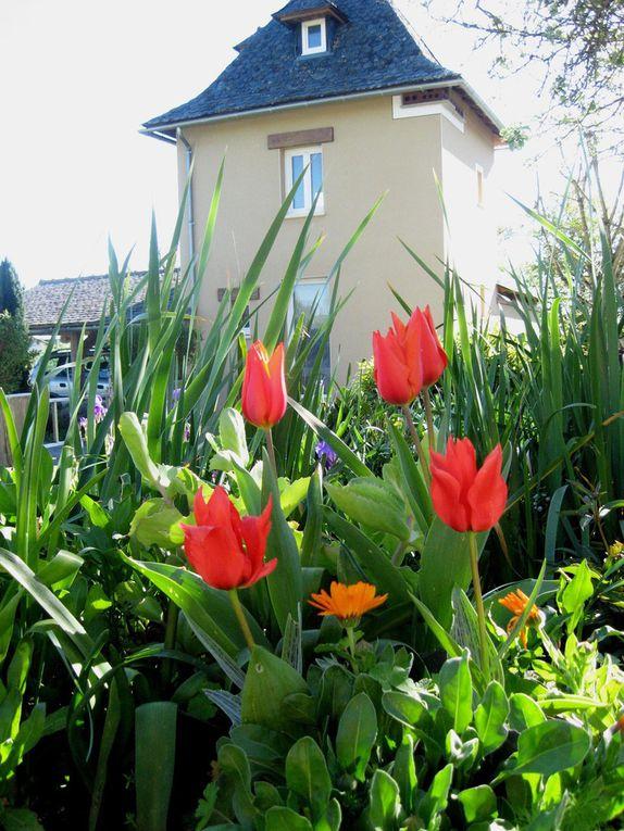 - Les rouges-orangés des Tulipes -