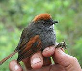 Azara's spinetail - Wikipedia, the free encyclopedia