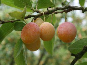 Les mirabelles de Nancy toutes nues et crues ou habillées d'une pâte moelleuse et cuites et une photo des vergers fruitiers de Laquenexy