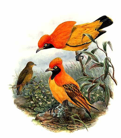 Two males displaying to a female masked bowerbird, Sericulus aureus, illustrated by John Gould (1804–1881)