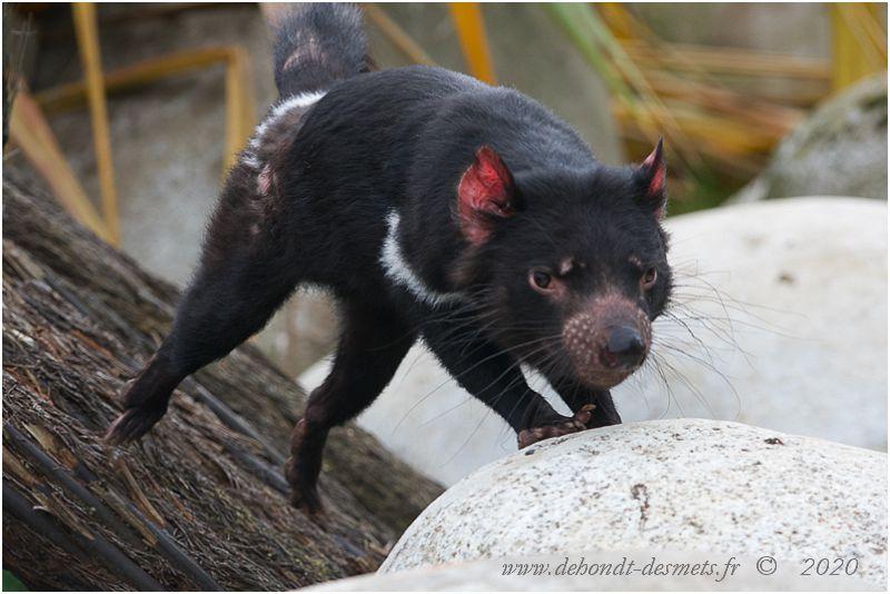 Unique représentant de son genre, le diable de Tasmanie est une espèce qui prospérait autrefois dans tout l'Australie. Aujourd'hui, le diable est confiné sur la sauvage île de Tasmanie.