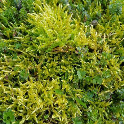 Soyette jaune - Homalothecium lutescens (Mousse)