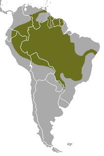 LA LOUTRE GÉANTE (Pteronura brasiliensis)