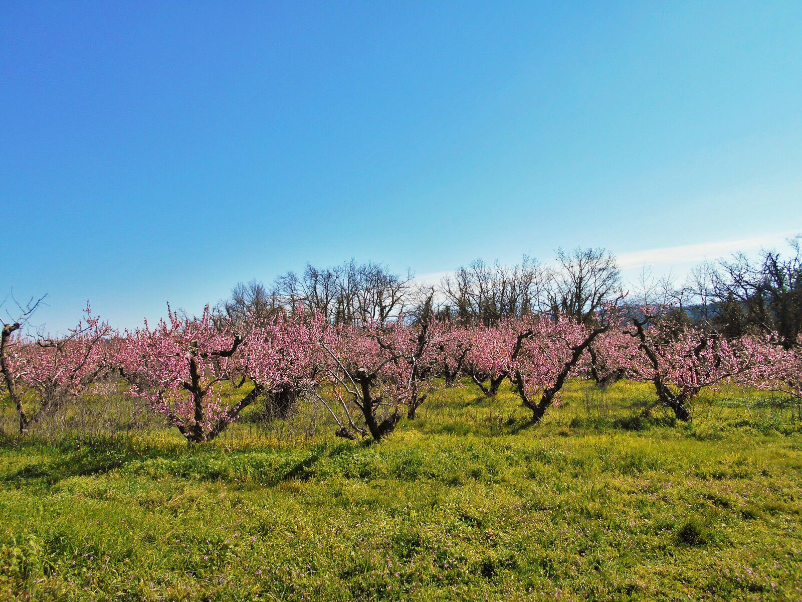 arbres fruitiers en fleurs, pêchers.