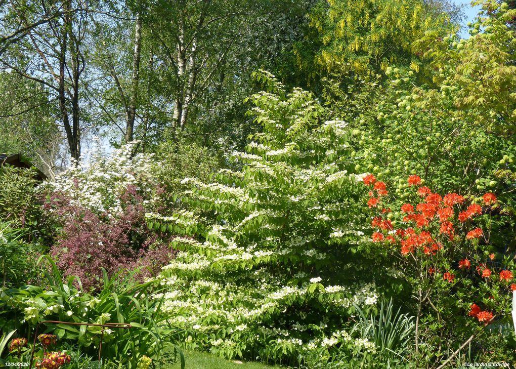 Viorne de Chine 'Mariesi' - Viburnum plicatum 'Mariesi'.
