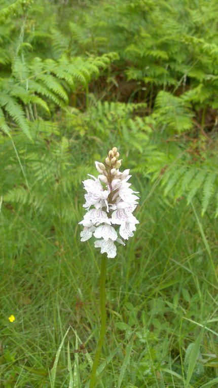 Orchis tacheté (dactylorhiza maculata) de la famille des orchidaceaes se rencontrent dans des prairies riches et humides. Ses fleurs sont roses ou blanches ornées de dessins délicats. Les feuilles sont généralement tachetées de noir.