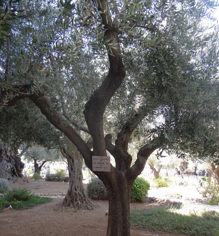 Jardin des Oliviers. Jérusalem (photos NB Israël nov.2018)