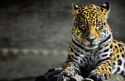 Animaux - Jaguar - Félin - Regard - Photographie - Wallpaper - Free