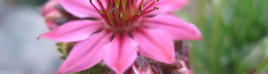 JOUBARBES - Etoiles roses des rochers - Sempervivum