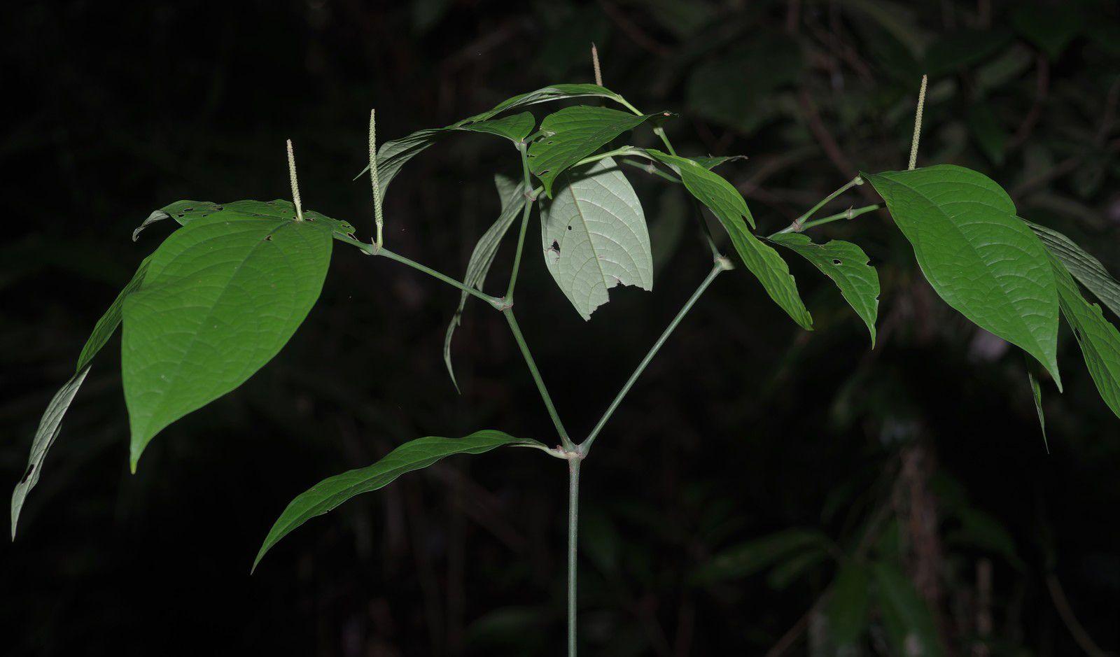Piper bartlingianum