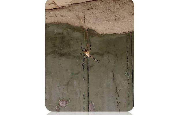Quelle est cette araignée jaune et noire ?