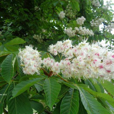 La fleur de marronnier d'Inde