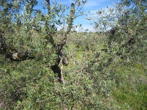 Nous traversons un champ d'oliviers. Ils viennent juste d'être taillés.