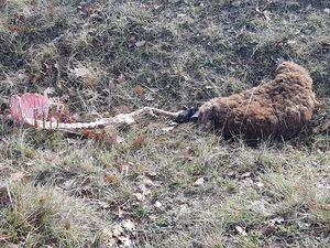 Drôme, Réauville, les loups à l'action