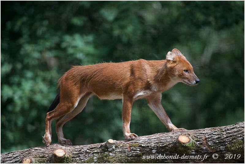 Les prédateurs naturels du cerf cochon sont le tigre, le léopard, le dhole et parfois le python birman