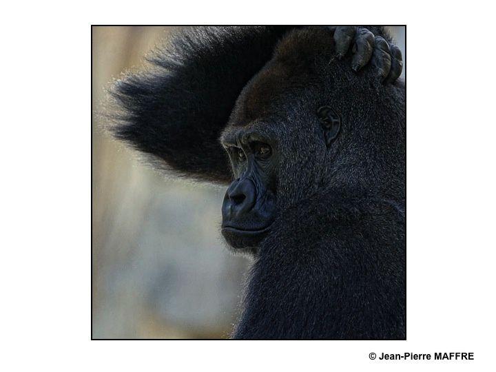 Les grands singes peuvent être admirés de près au zoo de Beauval.