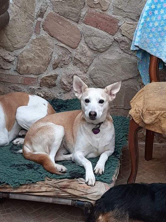 Elle est adoptée !!! : LILLY, chienne type Labrador croisée de 7 ans, stérilisée