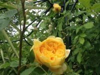 Plus de 130 rosiers à découvrir dans mon jardin...