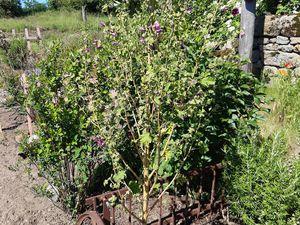 Connaissez vous cette plante ? Elle ressemble à une rose trémière mais elle ne repousse pas au même endroit au fil des ans... sur la dernière photo c'est la plante e  septembre 2019... les 2 premières photos sont prises aujourd'hui... merci de votre aide... par contre cette pla.te ne supporte pas les gelées...