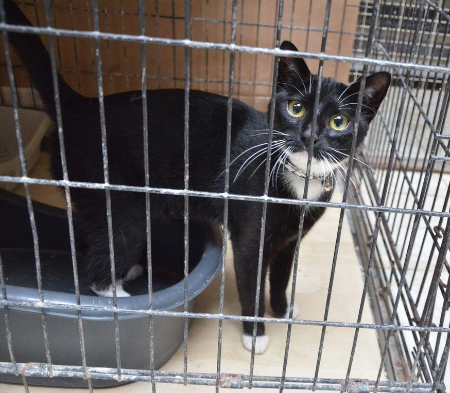 Elle est adoptée !!! . LOLITA, petite chatte stérilisée de 8 mois