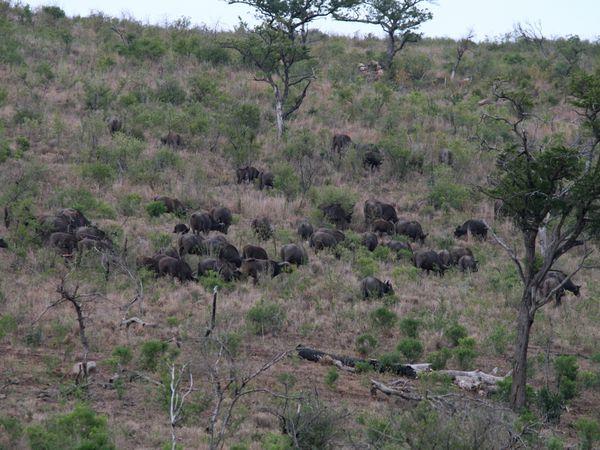 Les grands troupeaux de buffles