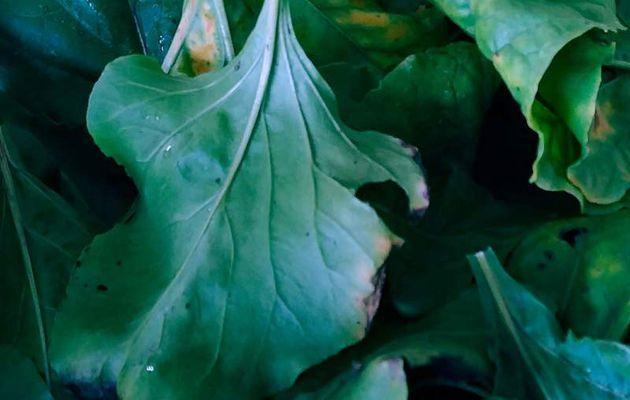 Cuisiner des feuilles de betteraves comme des épinards