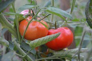 Mes tomates en permaculture