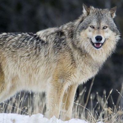 Les Louloups