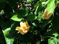 Variétés d'hibiscus...