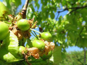 Les cerisiers de la floraison à la fructification...