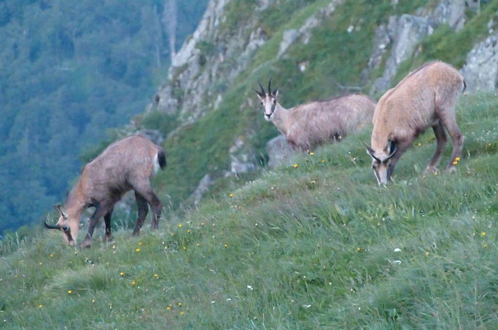 En fin de journée ou tôt le matin, profitant du calme, les chamois quittent leurs abris pour venir brouter l'herbe abondante et généreuse des chaumes.