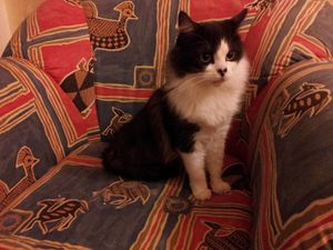 Princesse, chatte à poils mi longs, à été adoptée