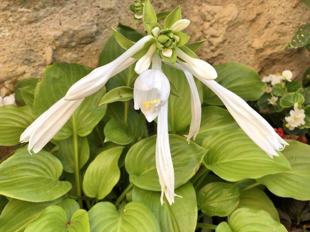 Les fleurs Hautefort