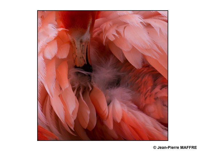 Que de plumes ! Moulin rouge, Folies Bergères, Lido ? Raté : Flamants roses tout simplement.
