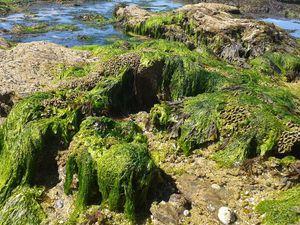La Crique des Amoureux est bien connue pour sa population d'Hermelles (Sabellaria alveolata) vers marins bâtissant leurs tubes avec des grains de sable.
