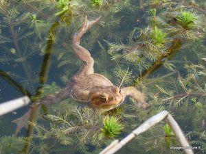 L'éveil des grenouilles rousses