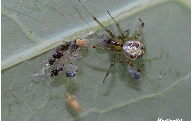 Araignée : Theridion impressum