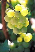 Les vins blancs commercialisés sous leur nom de cépage