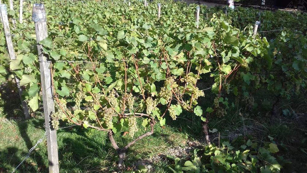 Samedi dernier à la vigne...