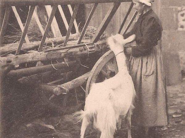 Massif Central : des chèvres noires ou blanches.