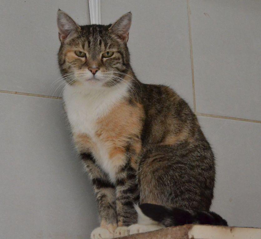 Elle est adoptée !!! : GINETTE - chatte tricolore stérilisée de 18 mois
