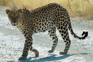 Buzz: Un léopard sème la panique dans une ville indienne (video)
