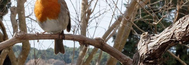 Le rouge-gorge, petit oiseau familier de nos jardins